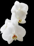 vita orchids royaltyfria foton