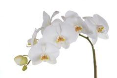 vita orchids Arkivfoto
