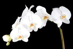vita orchids Arkivbilder