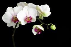 vita orchids Royaltyfri Fotografi