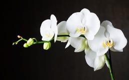 Vita orchids mot mörk bakgrund Royaltyfri Foto