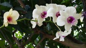 Vita orkidéblommaväxter Royaltyfria Bilder