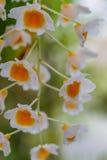 Vita orkidéblommor Royaltyfri Fotografi