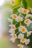 Vita orkidéblommor Royaltyfria Foton