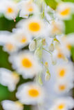 Vita orkidéblommor Arkivfoto
