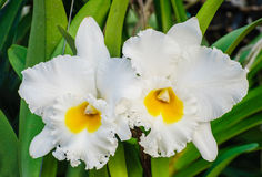 Vita orkidéblommor - Cattleya Royaltyfri Fotografi