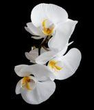 Vita orkidér Arkivfoton