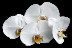 Vita orkidér Arkivbilder