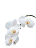 Vita orkidér. Royaltyfri Fotografi