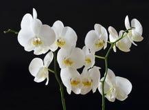 Vita orkidér Royaltyfria Bilder