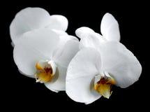 Vita orkidér Fotografering för Bildbyråer
