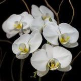 Vita orkidér Arkivfoto