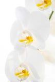 Vita orkidér I Arkivfoto