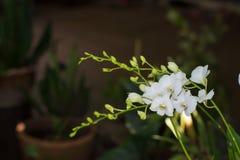 Vita orkidér i trädgården Arkivbilder