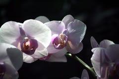 Vita orkidér II arkivbilder