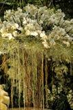 Vita orkidér med att dingla rotar Royaltyfri Fotografi