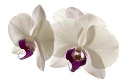 Vita orkidér med lilakärna som isoleras mot vit Royaltyfri Foto