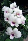 Vita orkidér med purpurfärgad mitt Royaltyfria Foton