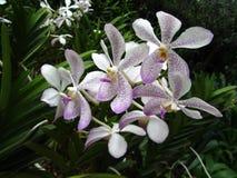 Vita orkidér med purpurfärgade fläckar Arkivbild