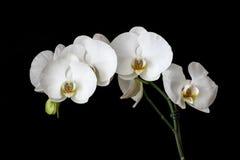 Vita orkidér med svart bakgrund Royaltyfri Bild
