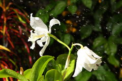 Vita orkidér med vattensmå droppar Royaltyfria Foton
