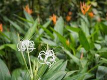 Vita orkidér mot gröna sidor Royaltyfri Fotografi