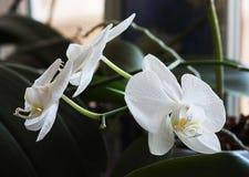 Vita orkidér på fönstret Vita orkidér hemma Arkivbilder