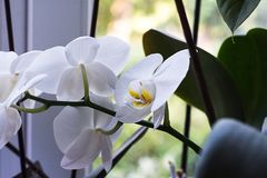 Vita orkidér på fönstret Vita orkidér hemma Royaltyfri Bild