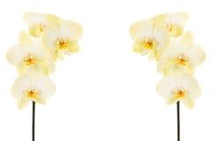 Vita orkidér på stammen Arkivbild