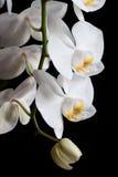 Vita orkidér på svart bakgrund Royaltyfri Fotografi