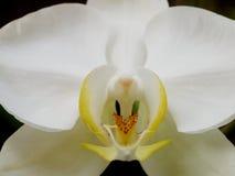 Vita orkidér under naturlig belysning Royaltyfri Fotografi