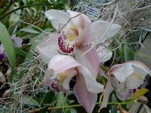 Vita orkidér, vita blommor, exotiska blommor Royaltyfria Bilder