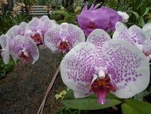 Vita orkidér, vita blommor, exotiska blommor Royaltyfria Foton