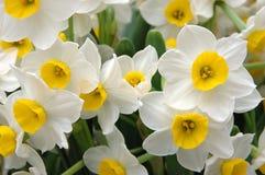 vita påskliljar Royaltyfria Foton