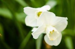 Vita påskliljor Fotografering för Bildbyråer