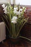 Vita påskliljor i vas i hus för gammal skola Royaltyfri Fotografi