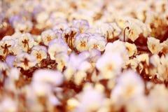 vita pansies Royaltyfria Bilder