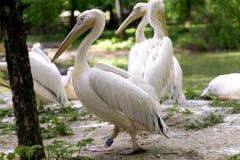vita pelikan för grupponocrotaluspelecanus Arkivfoto