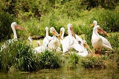 vita pelikan för grupponocrotaluspelecanus Fotografering för Bildbyråer