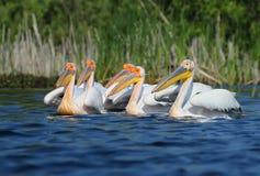 Vita pelikan för liten flock i avelfjäderdräkt Fotografering för Bildbyråer
