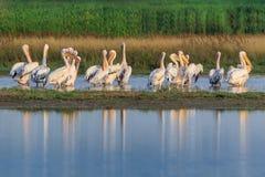 Vita pelikan i Donaudeltan, Rumänien Fotografering för Bildbyråer