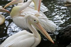 Vita pelikan på dammet Royaltyfria Bilder