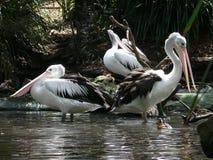 Vita pelikan på de skuggiga bankerna av ett damm Arkivfoto