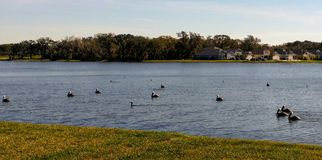 Vita pelikan på sjön arkivbild