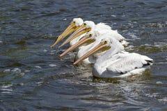Vita pelikan (Pelecanuserythrorhynchos) Royaltyfri Fotografi