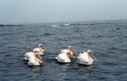 Vita pelikan, pelikanfjärd, Namibia Fotografering för Bildbyråer