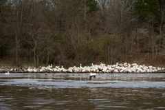 Vita pelikan samlas på flodShoreline i vinter arkivbild