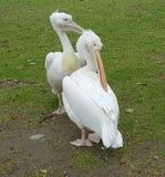Vita pelikan, St James Park, London Royaltyfri Foto