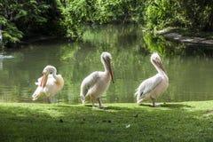 Vita pelikan tycker om solen Arkivfoton
