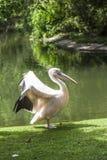 Vita pelikan tycker om solen Arkivbilder